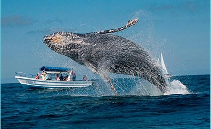 Humpback Whale Watching  Samana