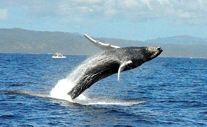Humpback whale tour jumps