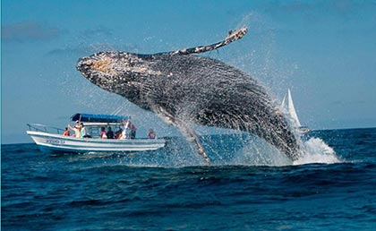 Whale Wartching Samana